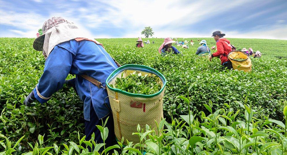 A stroll through Connemara tea plantation, 'the tea heaven 'of Thekkady