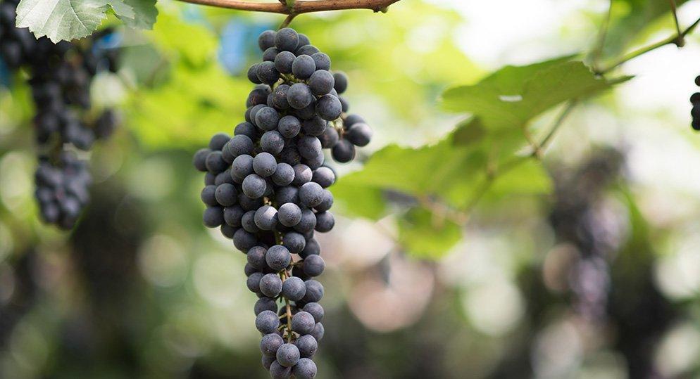 The enchanting Grape farms of Cumbum