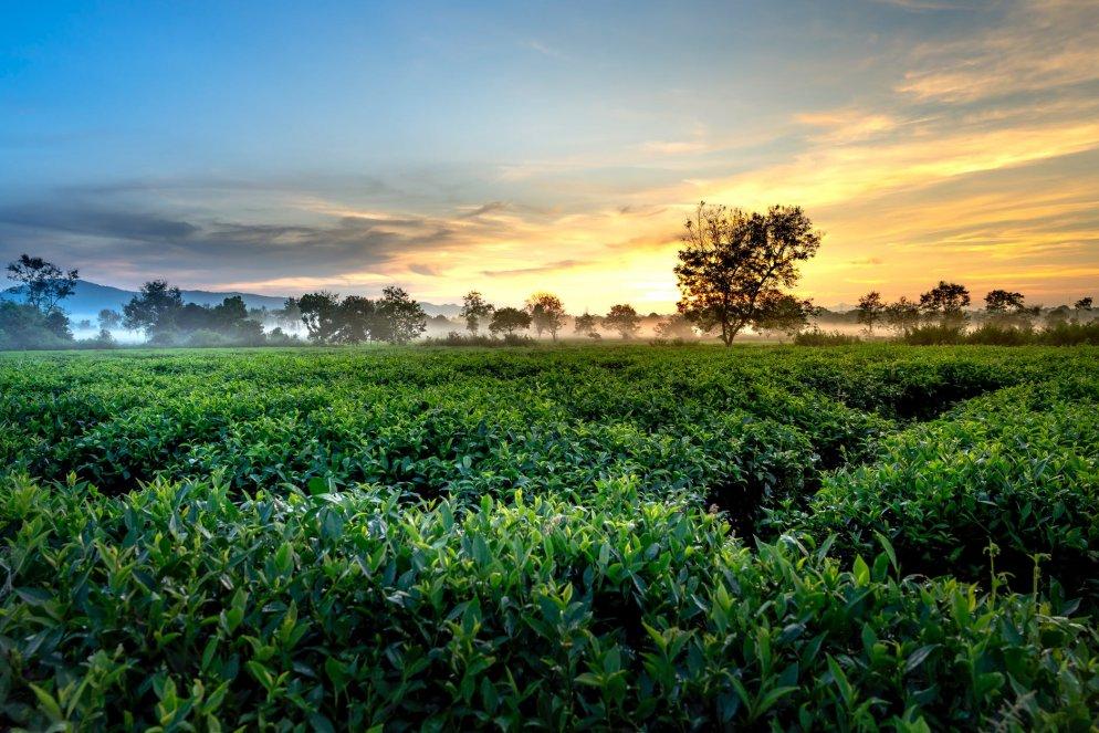 Tea Plantations of Thekkady